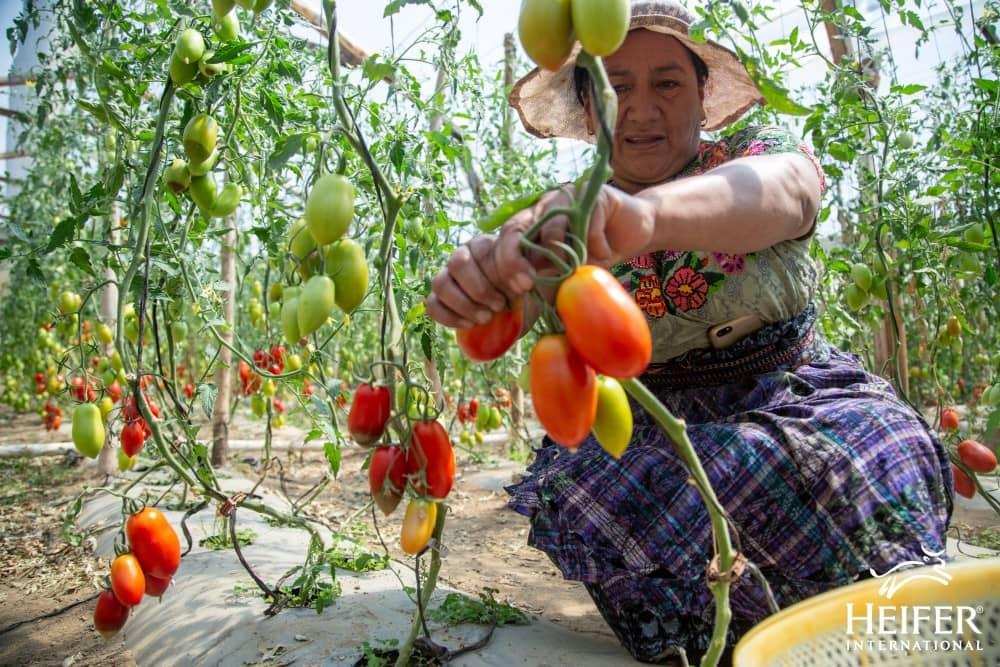 Marta Chavez tomaten landbouw, Impact Heifer Nederland