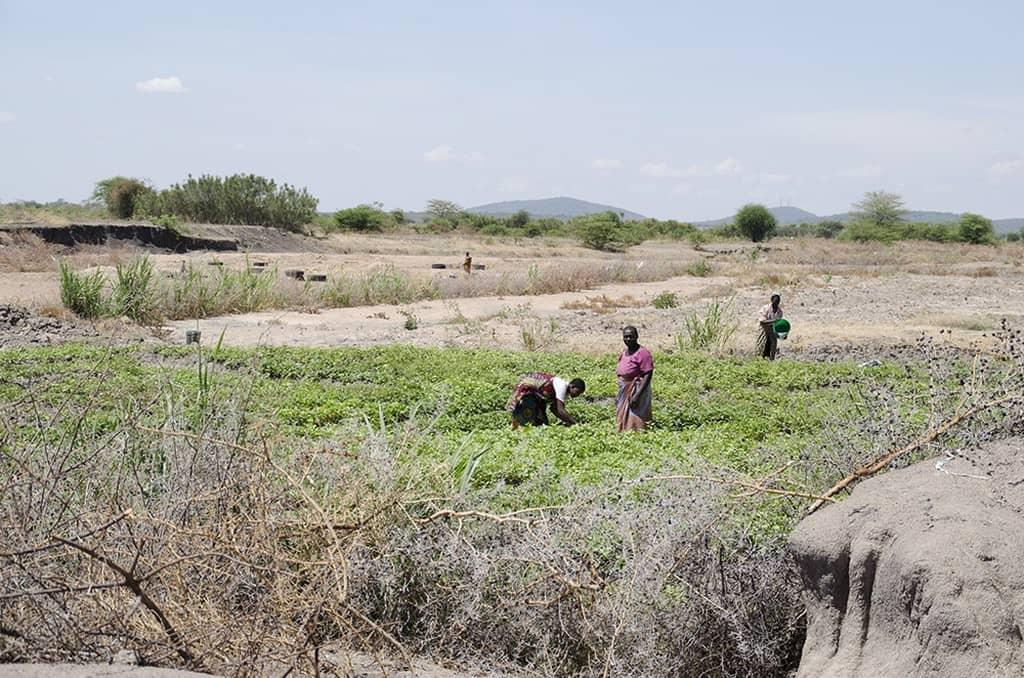 Land droogte Heifer