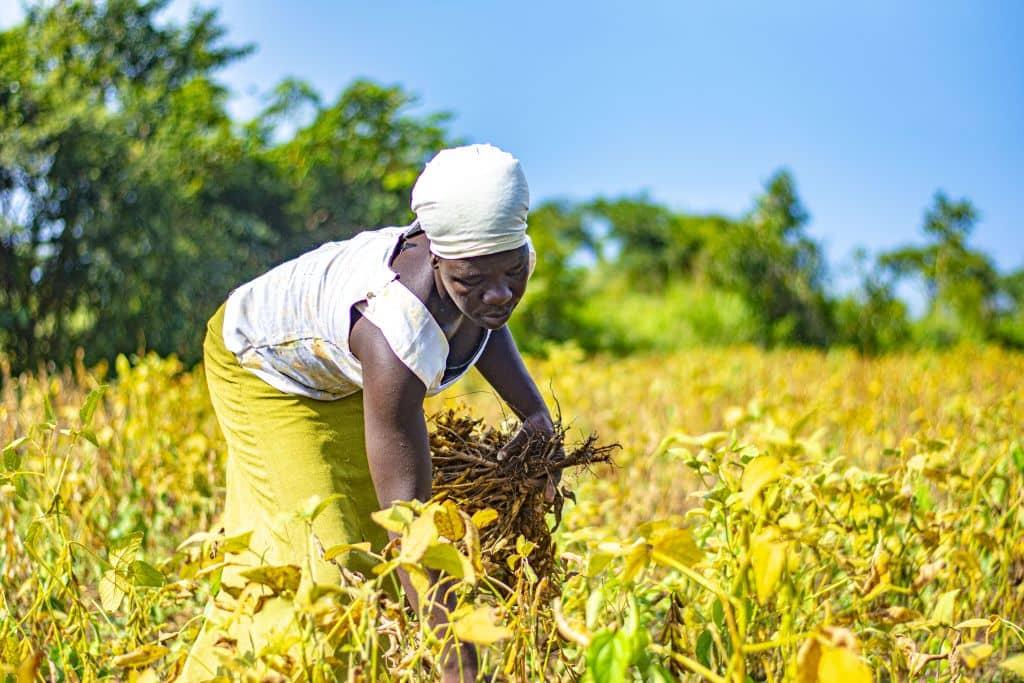 Vrouw in veld Oeganda Heifer